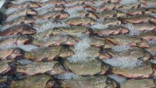 fish nature catch