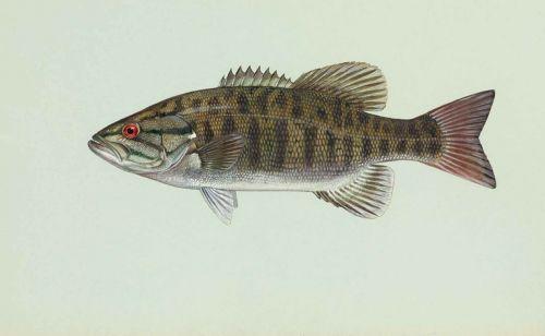 fish smallmouth dolomieu