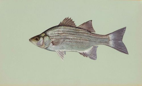 fish white chrysops