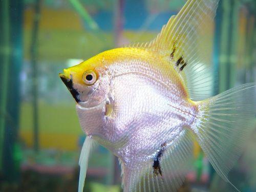 fish silver yellow
