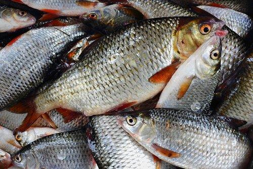 fish  closeup  catch