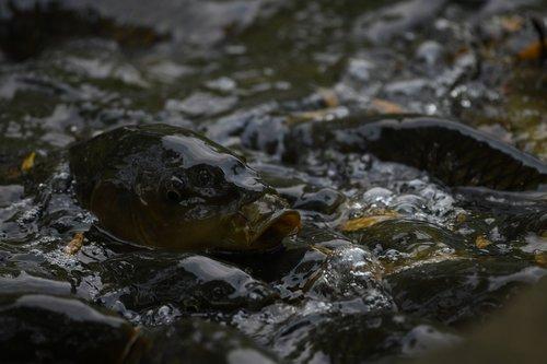 fish  water  carp