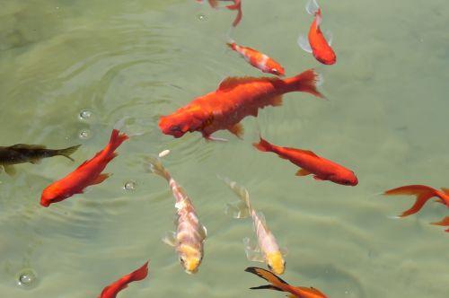 fish pond swim