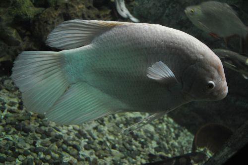 fish goldfish aquarium
