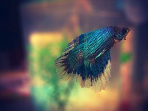 žuvis,akvariumas,spalvinga,betta,makro,maudytis
