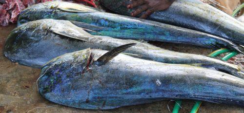 fish fang catch fish
