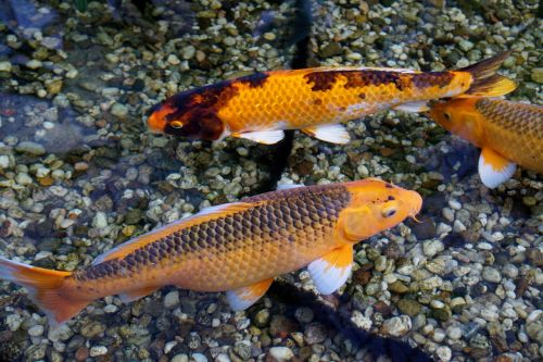 fish koi carp goldfish