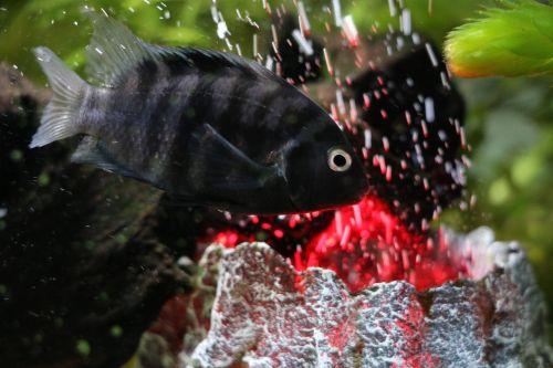 fish perch aquarium