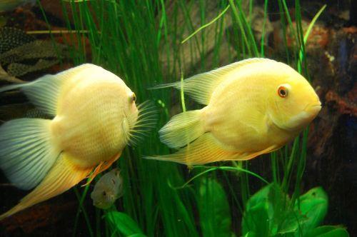 cichlid fish aquarium