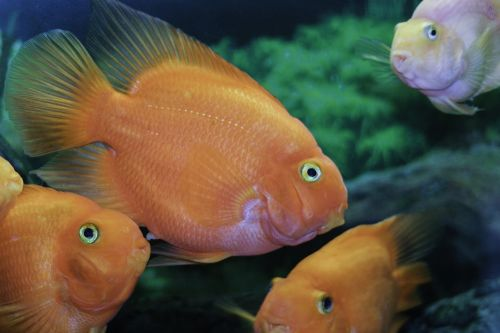 fish orange tropical fish