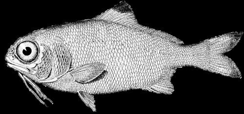 fish vintage drawing