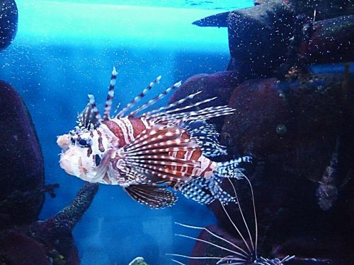 fish unusual red lionfish