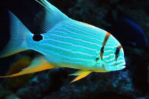 fish-croaker virginiana  virginian pompom  fish