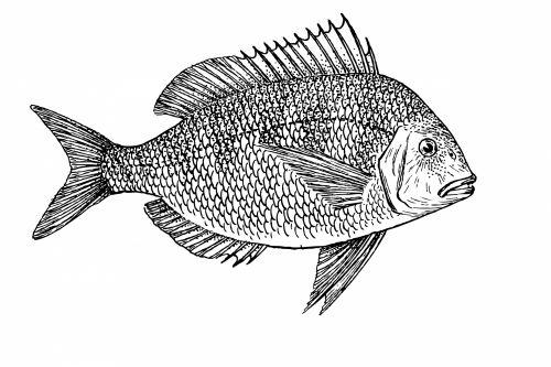 Fish Illustration Clipart