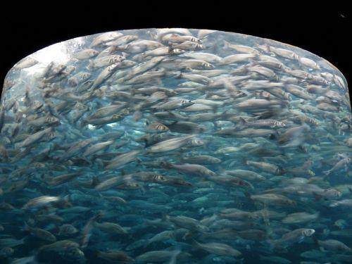 fish swarm sardines fish