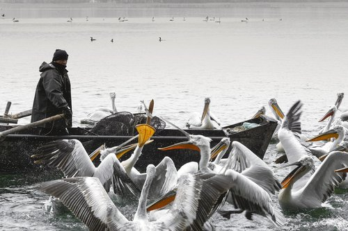 fisher  pelicans  pelecanus