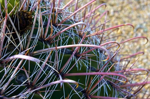 fishhook cactus closeup  desert  cactus