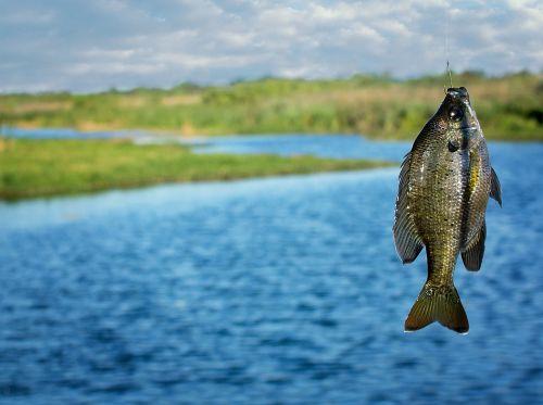 fishing brim fish