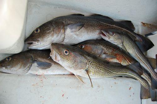 fishing cod feeding