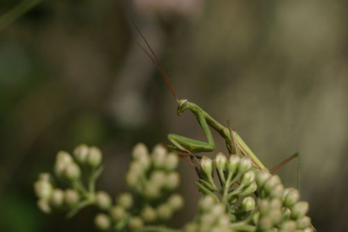 fishing locust praying mantis mantodea