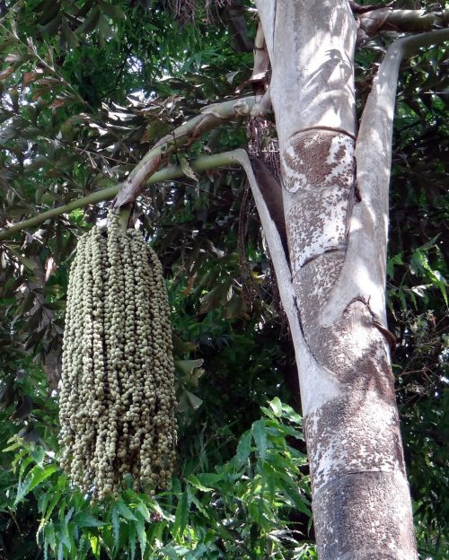 fishtail palm jaggery palm toddy palm