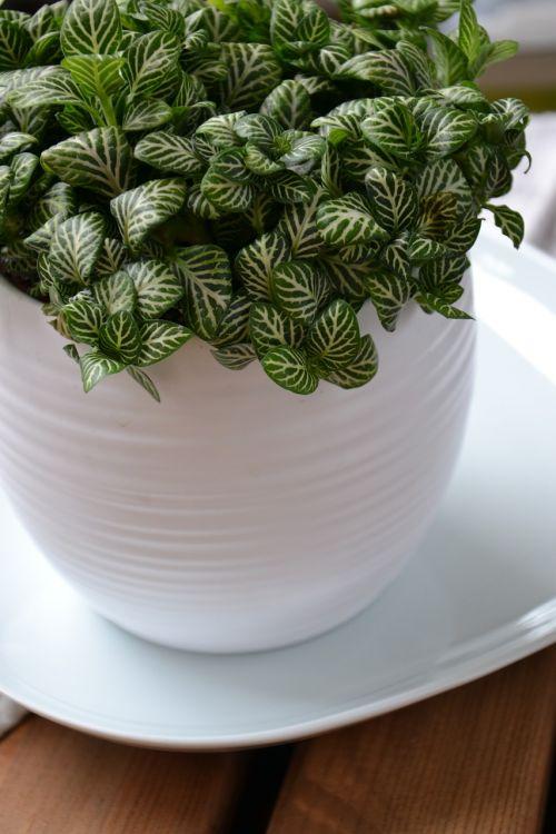 fittonia houseplant flower