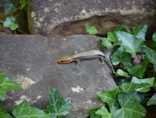 five-lined skink skink reptile