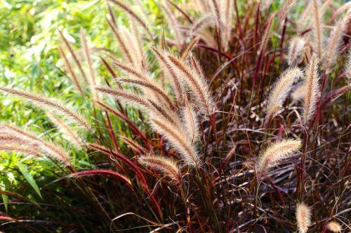 fjärderborstgräs grass perennial