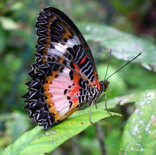 Butterfly From Bohol, Philippines