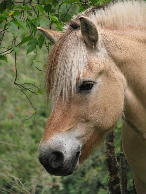 fjordas arklys,norvegų fjordas arklys,gyvūnas,arkliai,gyvuliai,veislė,ūkis,kaimas,Norvegija