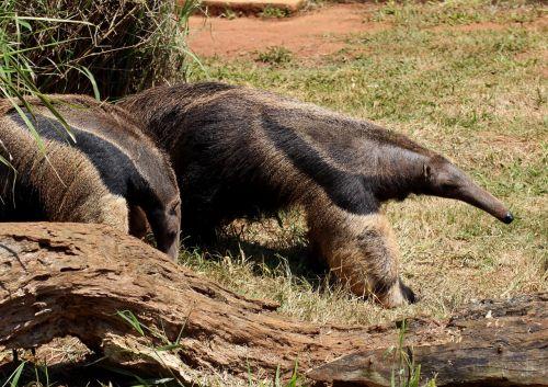 flag anteater animal wild