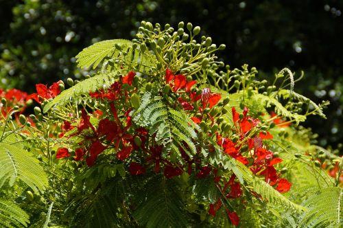 flamboyant tree flourishing tree