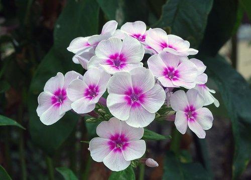 flame flower  phlox  greek valerian plant