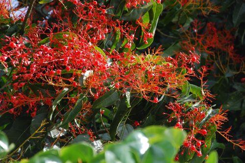 liepsnos medis,australian,gėlės,raudona,tamsiai raudona,raudona,subtropinis,žydėjimas,brachychition acerifolius,illawarra liepsnos medis