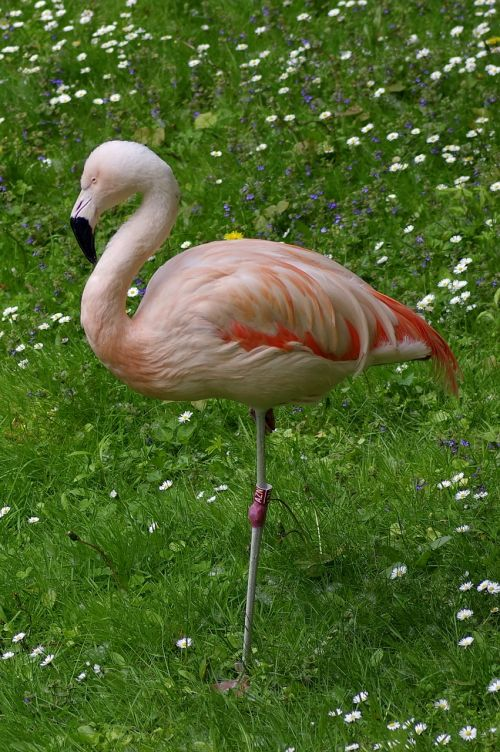 flaming pink standing