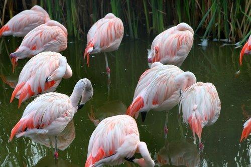 flaming  bird  pink