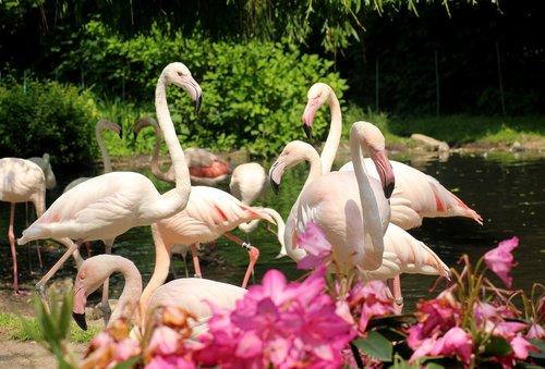 flaming  birds  flamingos