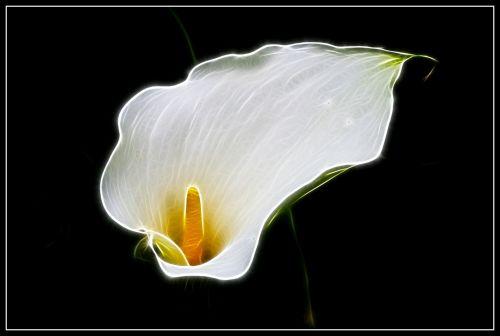 Flaming Arum Flower