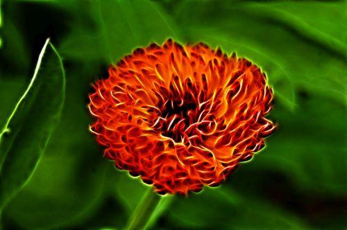 Flaming Calendula