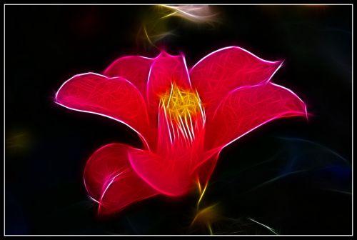 Flaming Camellia