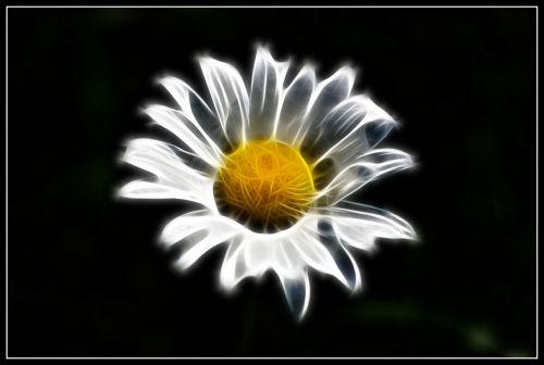 Flaming Daisy