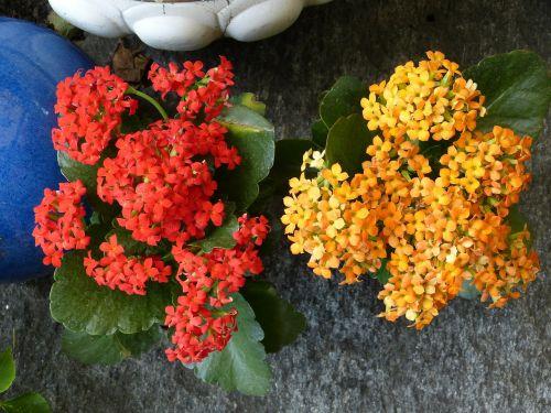 flaming käthchen flowers flower