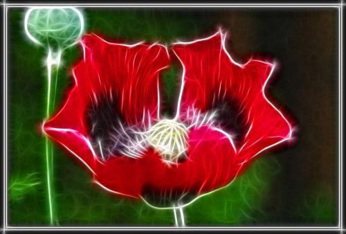 Flaming Opium Poppy