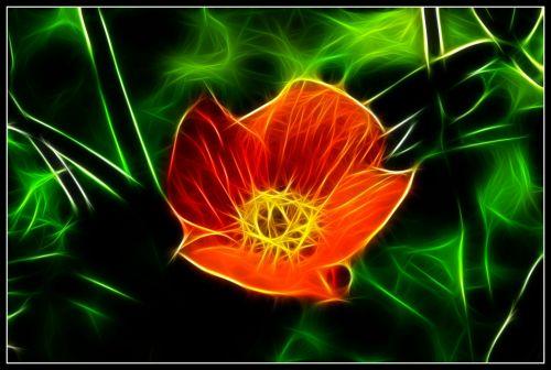 Flaming Poppy