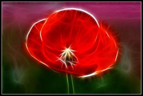 Flaming Red Poppy