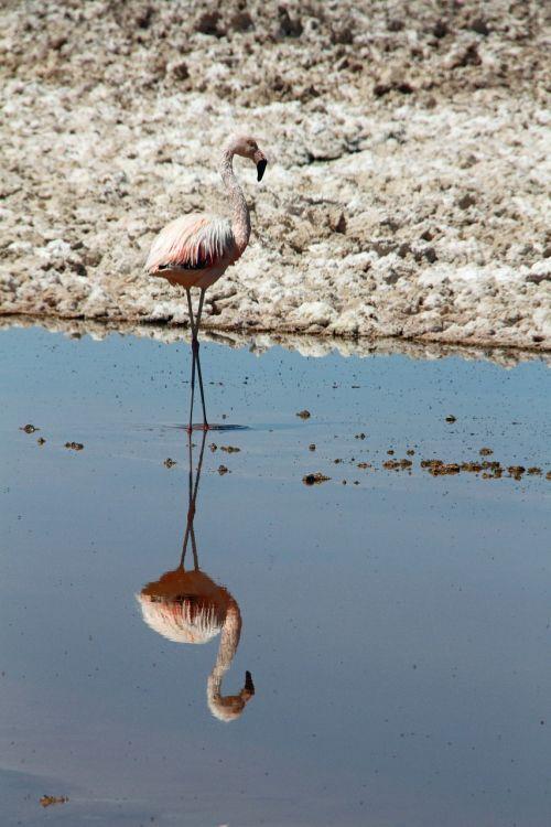 flamingo pink atacama desert