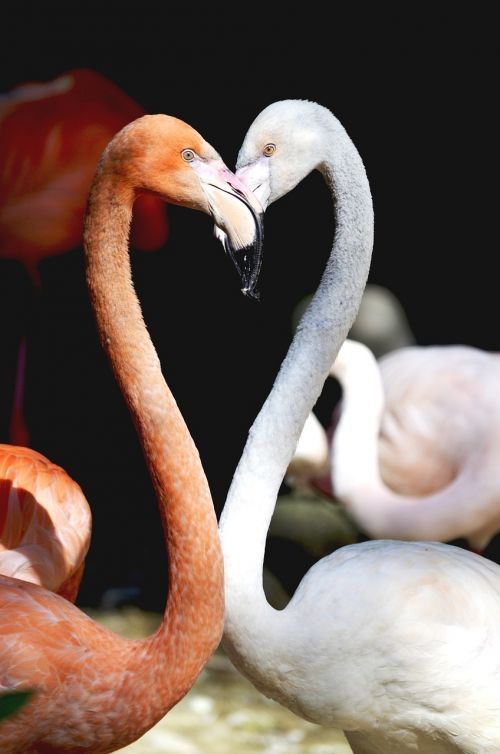 flamingo heart birds