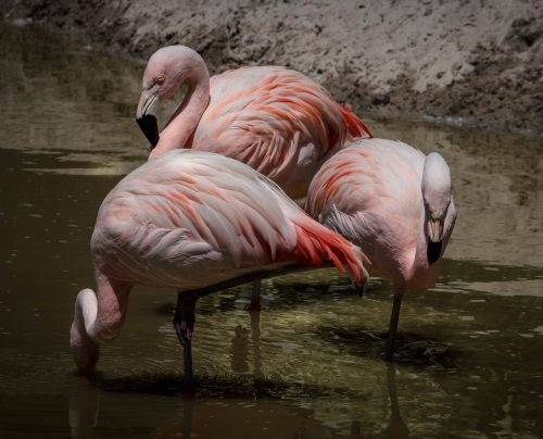flamingo pink flamingos wading bird