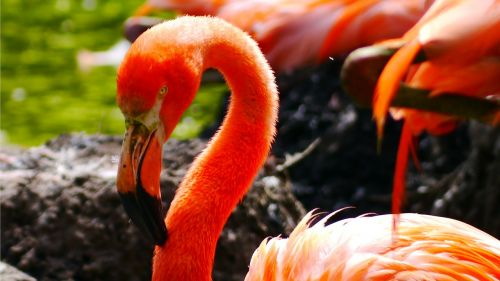 flamingo bird water bird