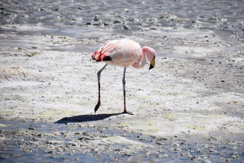 flamingo bolivia pink